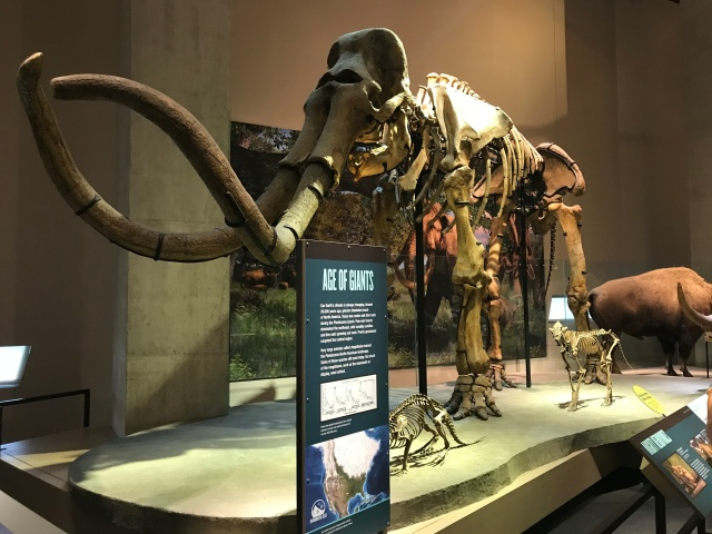 display of a mammoth in a museum