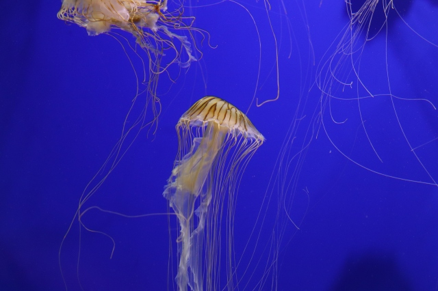 Georgia Aquarium Jellyfish